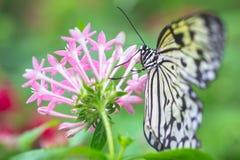 Guindineau de plan rapproché sur la fleur Images stock