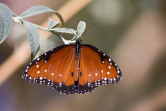 Guindineau de reine - gilippus de Danaus images stock