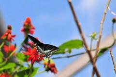 Guindineau de Spicebush Swallowtail Images libres de droits