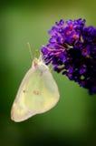 Guindineau de Sulpher sur la fleur pourprée Photo libre de droits