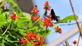 Guindineau de Swallowtail Image libre de droits