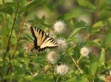 Guindineau de Swallowtail de tigre Photos stock
