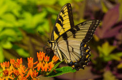 Guindineau de Swallowtail de tigre Photo stock