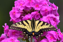 Guindineau de Swallowtail de tigre Image stock