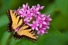Guindineau de Swallowtail de tigre sur les fleurs roses Image stock