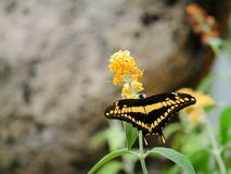 Guindineau de Thoas Swallowtail Photos stock