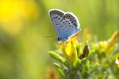 Guindineau et fleur Photo libre de droits