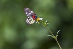 Guindineau et fleur blanche Photographie stock libre de droits