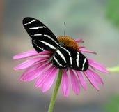 Guindineau et fleur de Longwing de zèbre photographie stock