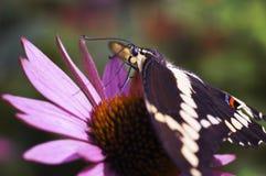 Guindineau géant de Swallowtail sur Coneflower rose Photo stock