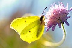 Guindineau jaune Images libres de droits
