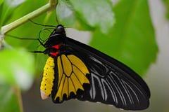 Guindineau jaune et noir Photo libre de droits
