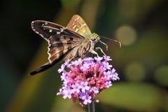 Guindineau Longtailed de capitaine sur les fleurs roses photos libres de droits
