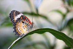 Guindineau malaisien de Lacewing sur la longue centrale de lame Photo stock