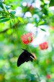 guindineau noir appréciant le nectar images stock