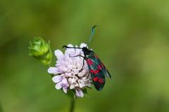 Guindineau noir avec les endroits rouges insecte de burnet de Six-tache Vue de filipendulae de Zygaena macro, foyer mou, fond ver Photographie stock