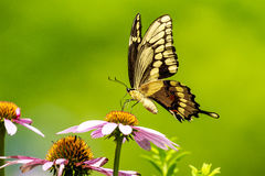 Guindineau noir de Swallowtail Image libre de droits