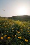 Guindineau oscillant au-dessus du gisement de fleur Images libres de droits