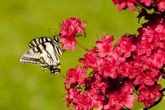Guindineau pâle de Swallowtail sur des buissons d'azalée Image stock