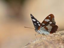 Guindineau réchauffant ses ailes au soleil Images stock