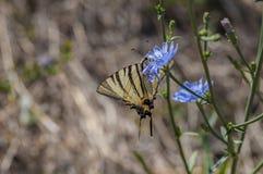 Guindineau rare de Swallowtail Image libre de droits