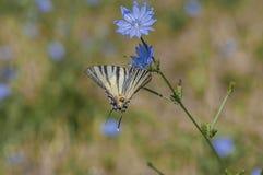 Guindineau rare de Swallowtail Photo libre de droits