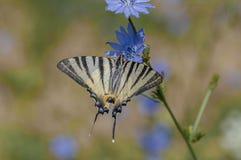 Guindineau rare de Swallowtail Photos stock