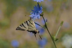 Guindineau rare de Swallowtail Photographie stock