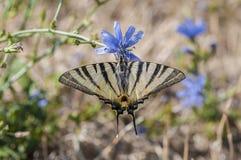 Guindineau rare de Swallowtail Image stock