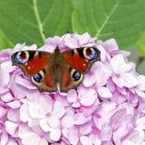 Guindineau rouge sur le hydrangea rose Photographie stock