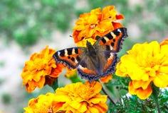 Guindineau sur des fleurs Photo libre de droits