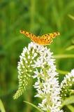 Guindineau sur des fleurs Image stock