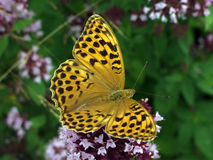 Guindineau sur des fleurs d'origan Photo stock