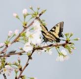 Guindineau sur des fleurs de cerise Photos libres de droits