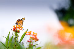 Guindineau sur la fleur Photos libres de droits