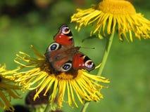 Guindineau sur la fleur Image stock