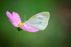 Guindineau sur la fleur photographie stock libre de droits