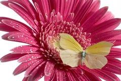 Guindineau sur la fleur Photographie stock