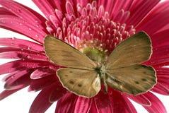 Guindineau sur la fleur Photo libre de droits