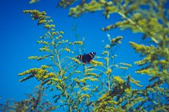Guindineau sur les fleurs jaunes Atalanta de Vanessa Photo stock