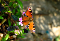 Guindineau sur les fleurs pourprées Image libre de droits