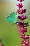 Guindineau sur une fleur Image libre de droits