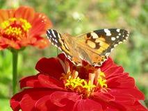 Guindineau sur une fleur Photographie stock libre de droits