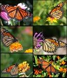 Guindineaux de monarque Photos stock