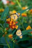 Guindineaux de monarque Photographie stock libre de droits