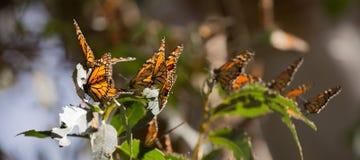 Guindineaux de monarque (plexippus de Danaus) photos libres de droits