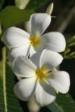 Guindineaux de paradis. Orchidées du Bornéo. Images libres de droits