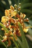 Guindineaux de paradis. Orchidées du Bornéo. Photographie stock libre de droits