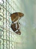 Guindineaux (Oeuf-mouche grande (linnaeus de bolina de Hypolimnas)) sont le couvre-tapis Photographie stock