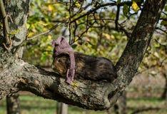 Guine-Schwein trägt gestrickten Schal und Schale - Herbstszene lizenzfreies stockfoto